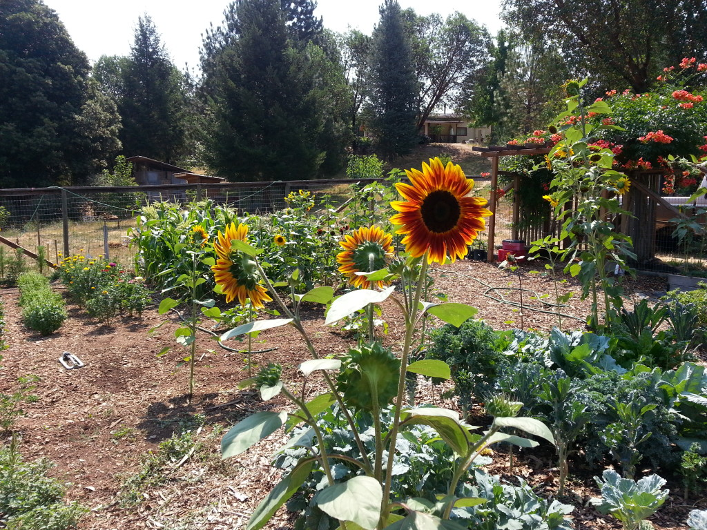 Garden Pictures: Sunflowers and kale